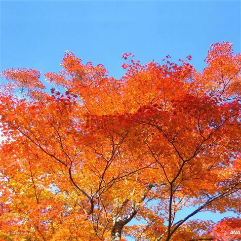 枫树,枫叶,秋天,落叶,萧瑟,风景,橙色