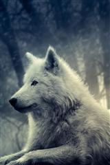 ,雪狼,风景,动物,